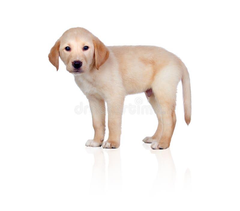 Download Beautiful Labrador Retriever Puppy Stock Image - Image: 25646649