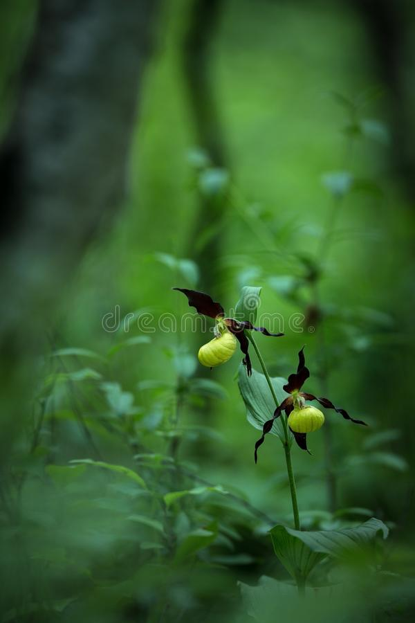Beautiful Lady`s slipper orchid flower grow in forest with natural background, wallpaper natural closeup macro, postcard beauty stock image