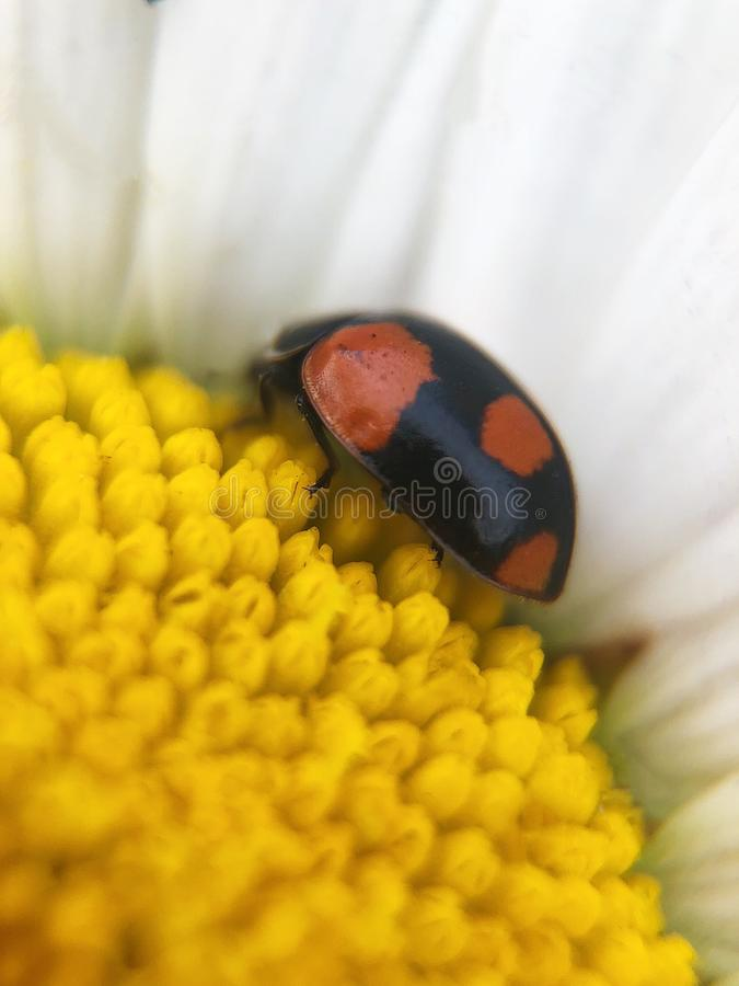 Beautiful ladybug on chamomile in summer Park stock images