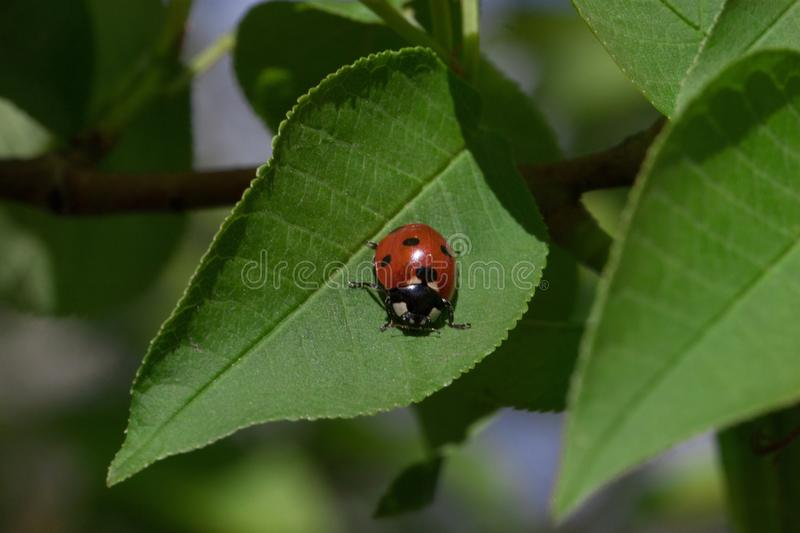 Beautiful ladybug is sitting on a green leaf. Blooming bird cherry stock photo