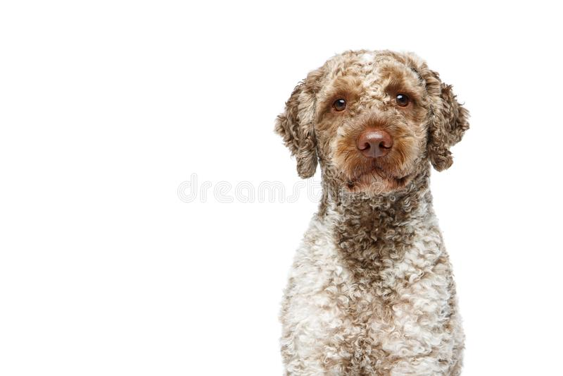 Beautiful lagotto romagnolo dog on white background royalty free stock photo