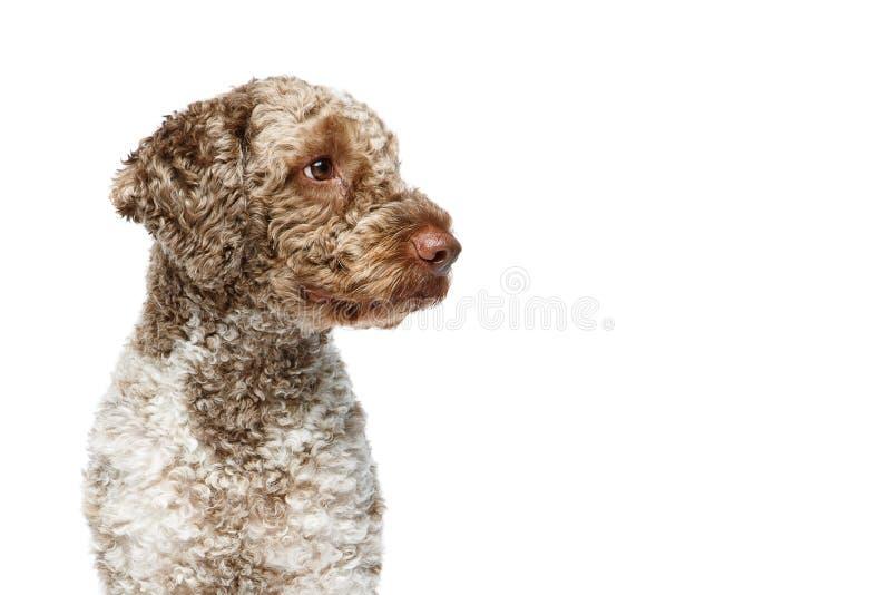 Beautiful lagotto romagnolo dog on white background stock image
