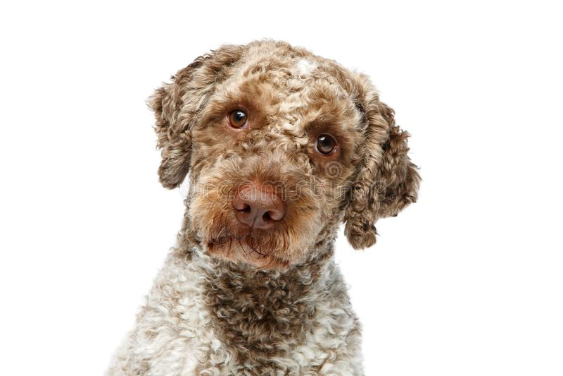 Beautiful lagotto romagnolo dog on white background royalty free stock photos