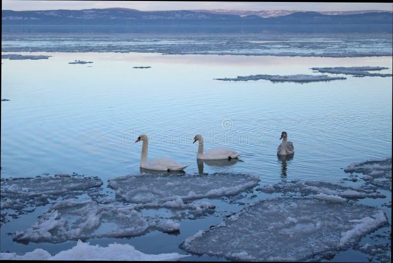 Beautiful Lake Balaton with three swans stock photos