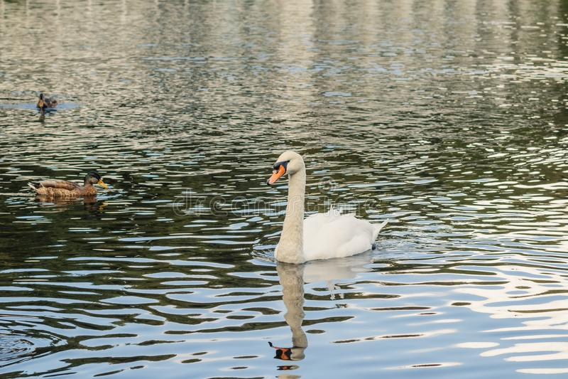 A beautiful lake for birds. Elegant white swans with black-orange beaks and multicolored gray and green small wild ducks royalty free stock photo