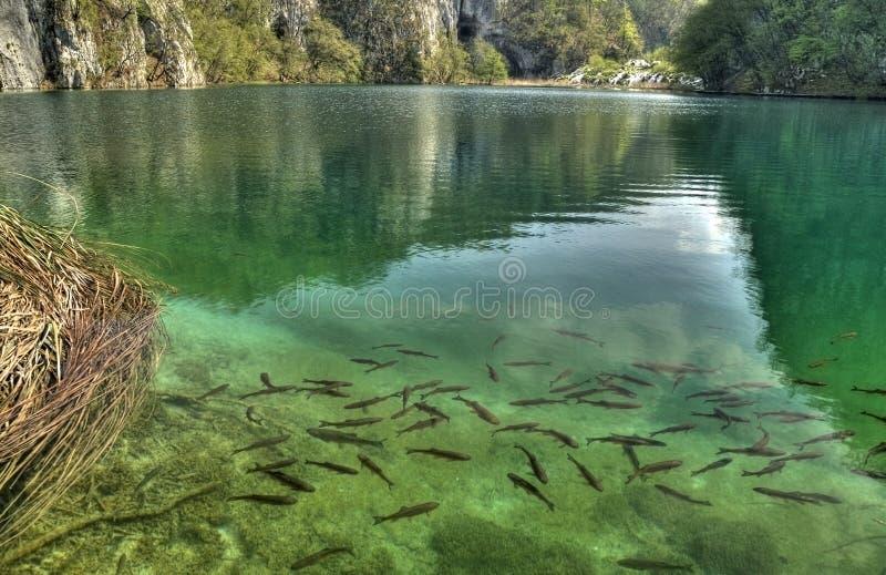 Beautiful lake with lot of fish stock photo