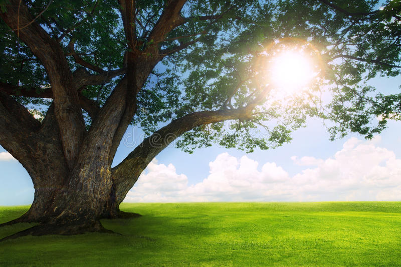 beautiful land scape of big rain tree plant on green grass fiel stock image