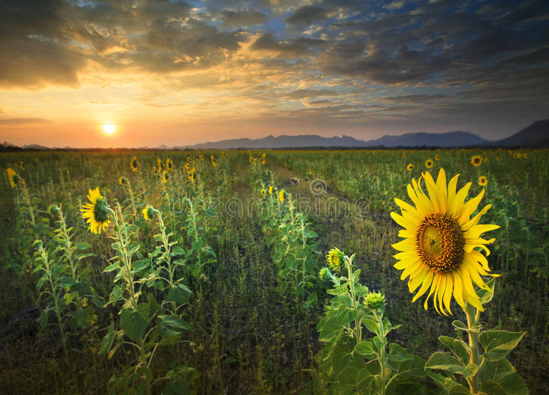 Beautiful land scape sun set with yellow sunflowers blooming in stock photo
