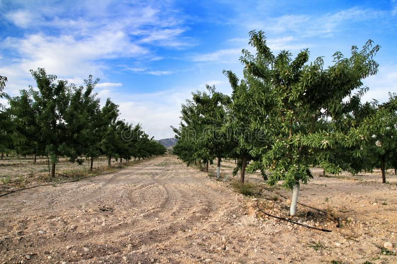 Field of almond trees in Spain. Beautiful landscape with almond trees in the mountains of Jumilla village in Spain cloud blue green fruits field plantation sky stock photography