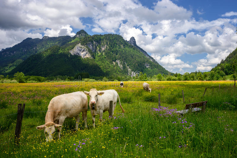 Beautiful landscape in the Alps with cows grazing in green meadows, typical countryside and farm between mountains. Idyllic Beautiful landscape in the Alps with stock image
