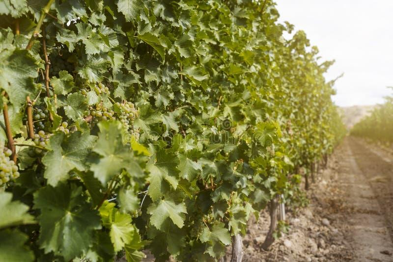 Landscape with the autumn vineyard orchard at sunrise stock photo