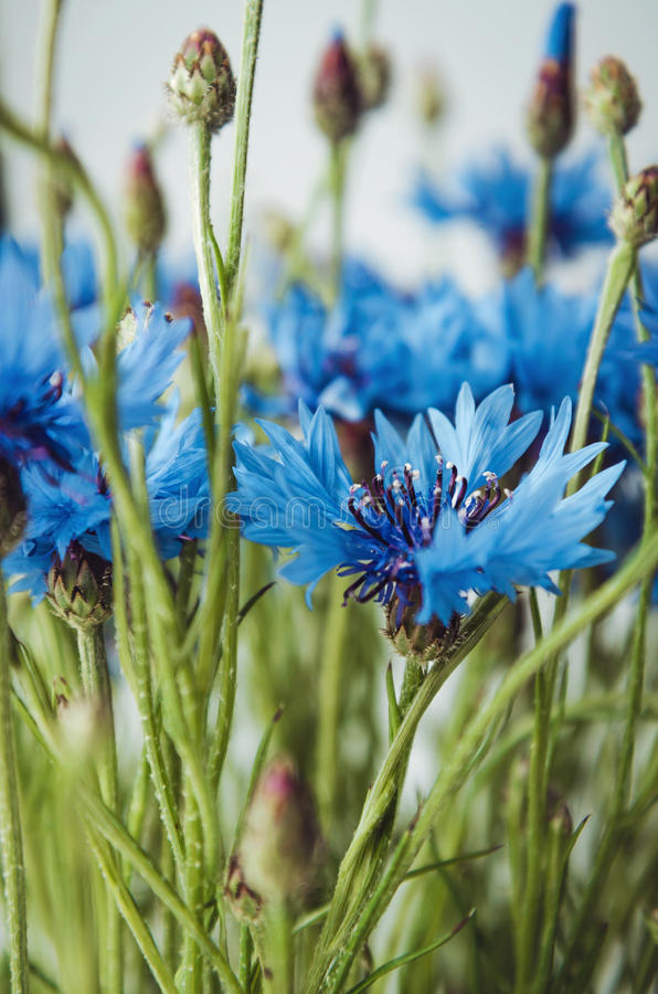 Beautiful landscape with blue cornflower flowers on a white background, summer field. Blossom floral abstract bokeh and. Beautiful landscape with blue cornflower stock photography