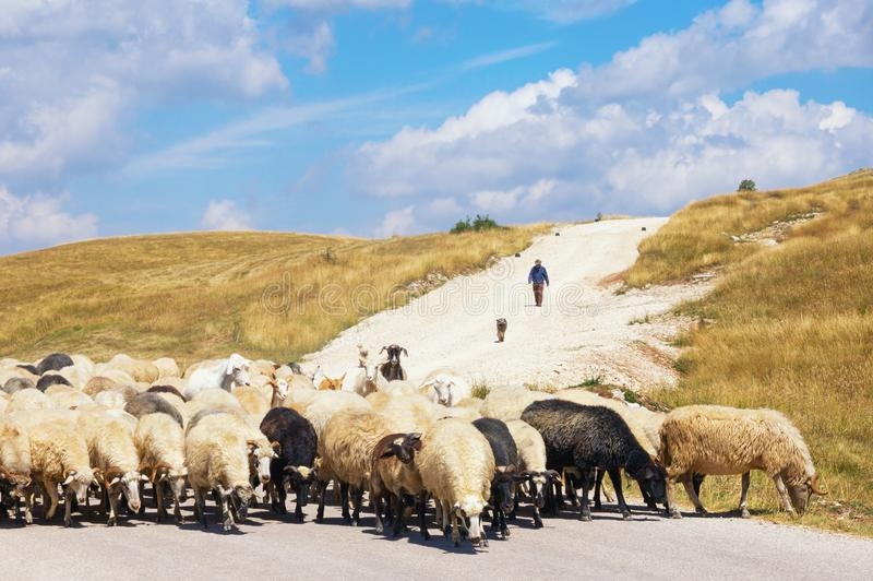 Beautiful landscape with blue sky, white clouds, yellow grassland and herd of sheep. Balkans, Montenegro royalty free stock image
