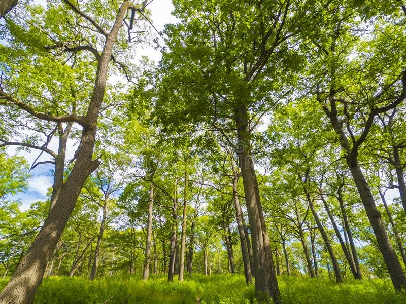 Beautiful landscape of a forest canopy of deciduous trees and grass on a summer day royalty free stock image