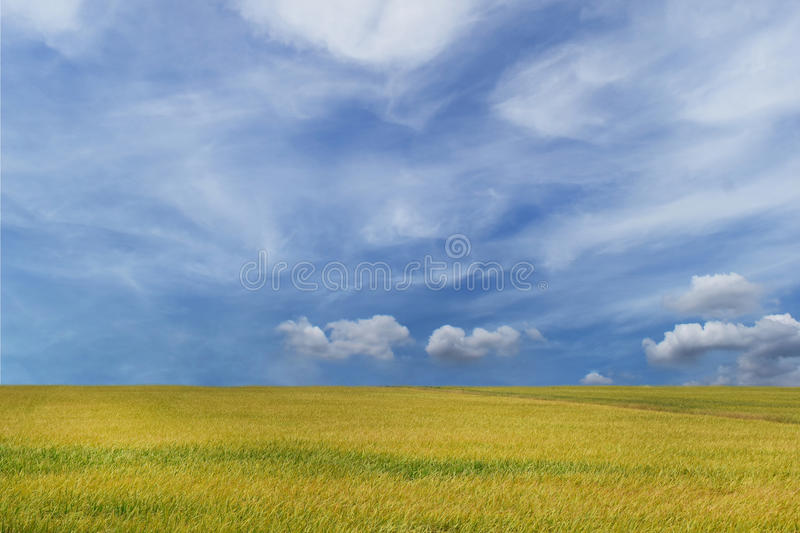 Beautiful landscape with cereal field gold yellow and blue sky ,,for web design or graphic art image . Beautiful landscape with cereal field gold yellow and royalty free stock images