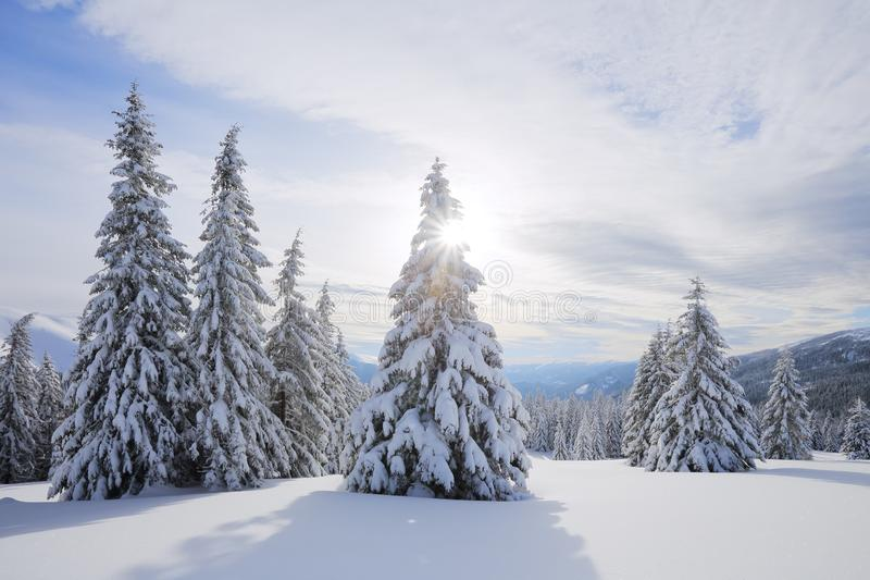 Beautiful landscape on the cold winter morning. The fluffy fir trees in the snowdrifts covered with snow on the lawn. Wallpaper royalty free stock photos