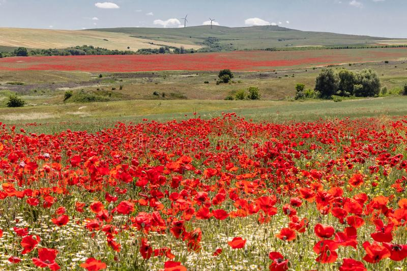 Beautiful landscape, flower field with bright red poppies and white daisy flowers, green grass and trees, on background high hills royalty free stock photo