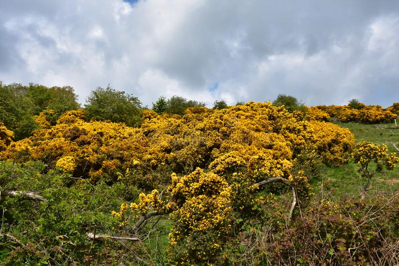 Beautiful Landscape With Flowering Yellow Gorse Bushes. Northern England with flowering golden yellow gorse bushes in bloom stock images