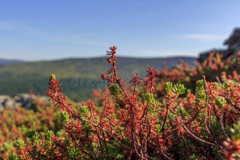 Beautiful landscape of forest-tundra. Mosses and branches of dwarf plants against the sky and mountains. Low-growing creeping royalty free stock photo