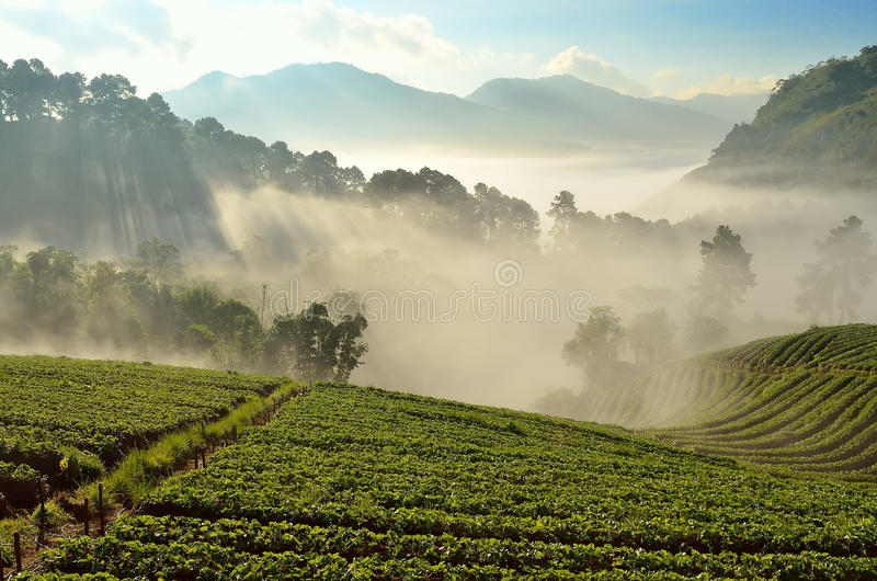 Beautiful landscape and fresh strawberries farm at Chiangmai ,Thailand. Beautiful landscape and strawberries farm at Chiangmai ,Thailand royalty free stock photos
