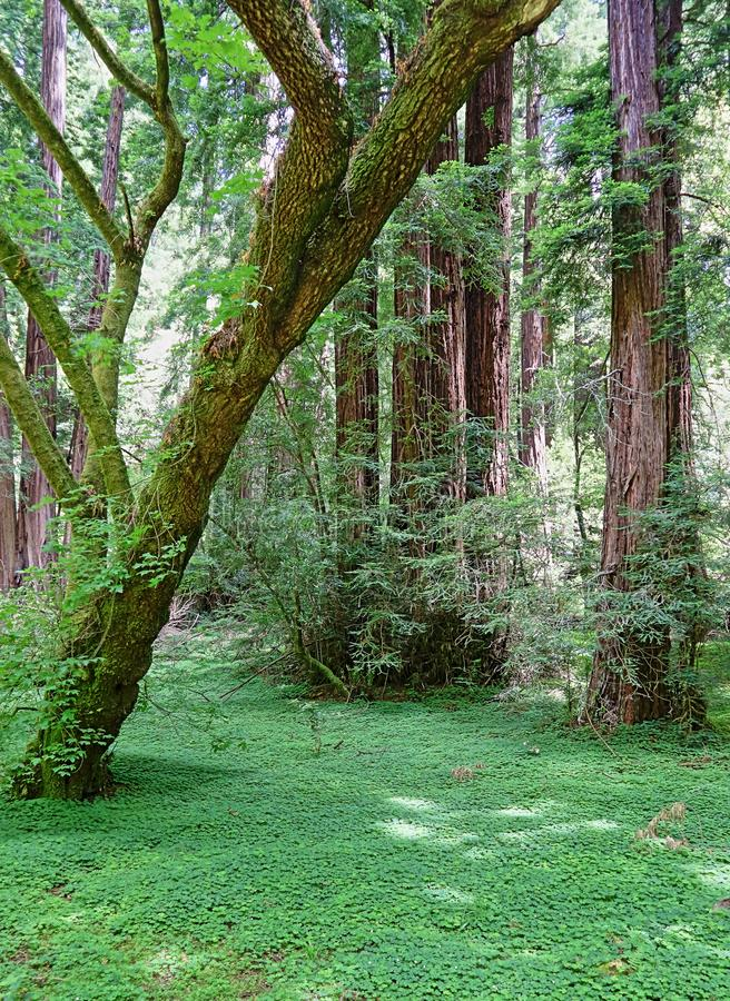 Beautiful landscape with giant redwoods in Muir Woods stock photos