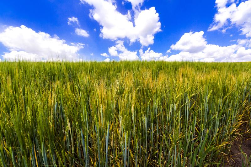Beautiful landscape of green organic young corn field. Agriculture and harvest. royalty free stock image