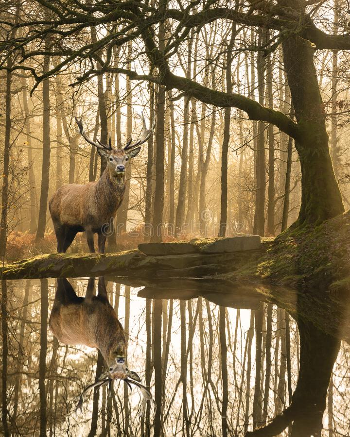 Beautiful landscape image of still stream in Lake District forest with beautiful mature Red Deer Stag Cervus Elaphus among trees. Stunning landscape image of stock images