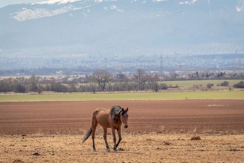 Beautiful landscape, lonely brown horse grazing in the hay field, on the background are snow mountains royalty free stock images