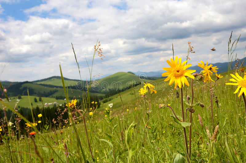 Beautiful landscape with meadow of wildflowers on a background o. F mountains (arnica flower royalty free stock photography