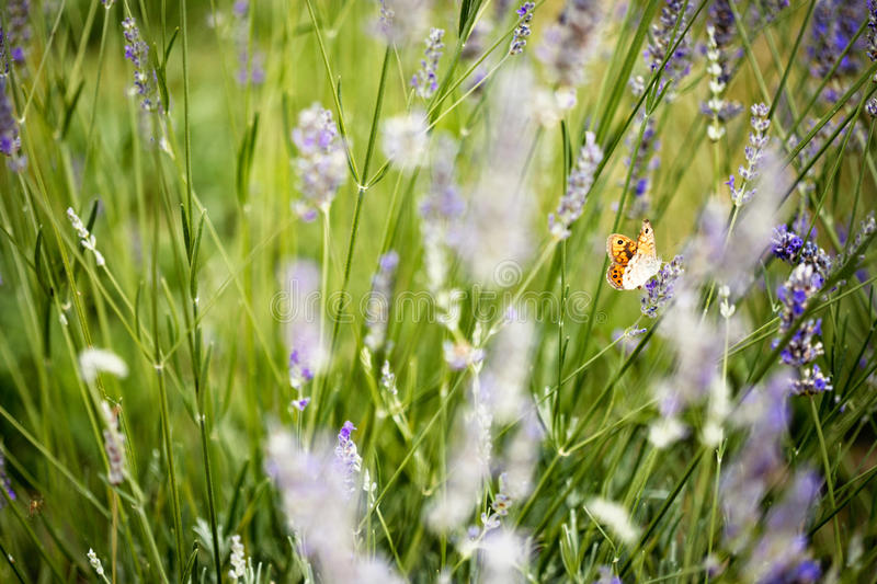 Beautiful landscape of an orange butterfly in lavender flowers stock photos