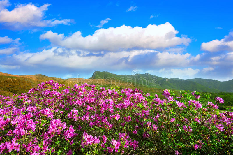 Beautiful landscape of Pink rhododendron flowers and blue sky in the mountains, Hwangmaesan in Korea. stock photos