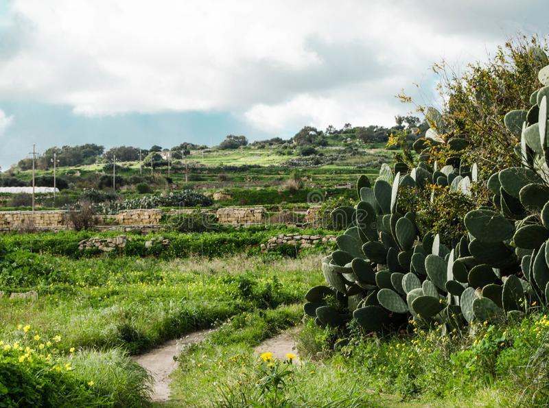Beautiful landscape with prickly pear cactus and road trail somewere between Mosta and Burmarrad, Malta royalty free stock images