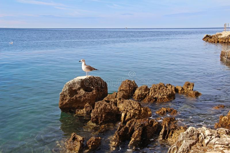 Beautiful landscape of sea Coast of Adriatic sea with with a seagull, a stone shore and transparent blue water near Rovinj, stock photos