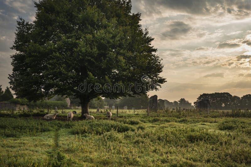 Beautiful landscape of sheep awakening under tree during Summer sunrise in English countryside stock photo