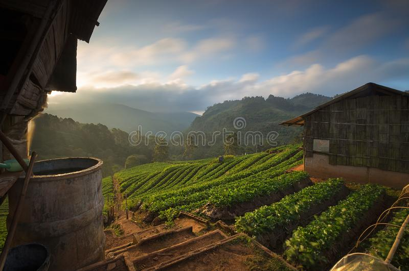 The beautiful landscape of strawberry plantation in the morning royalty free stock photography
