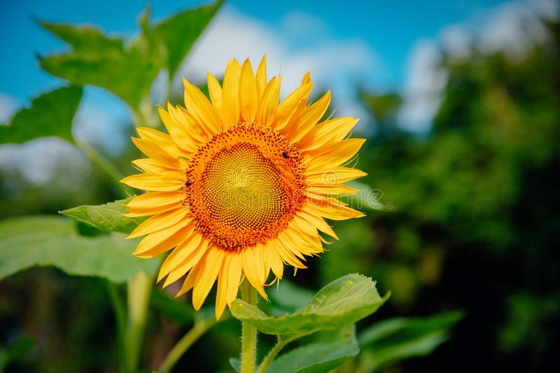 Beautiful landscape with sunflower field over cloudy blue sky stock photography
