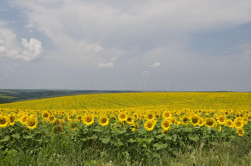Beautiful landscape with sunflower field stock photos