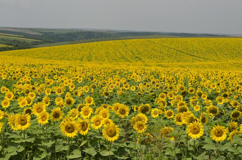 Beautiful landscape with sunflower field royalty free stock images