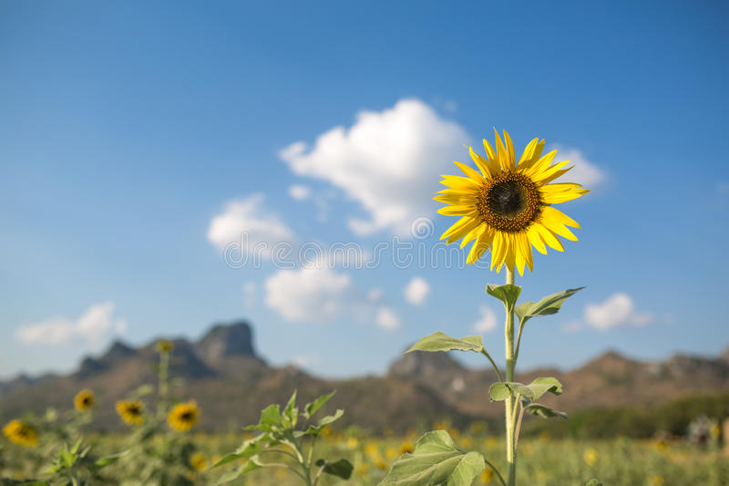 Beautiful landscape with sunflower field over cloudy blue sky an royalty free stock photo