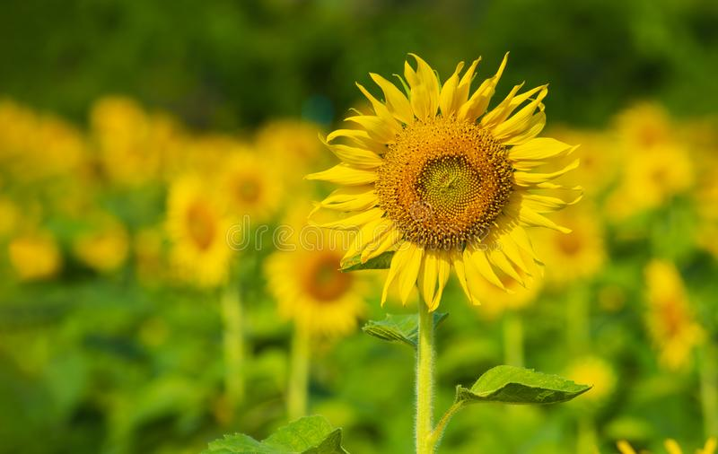Beautiful landscape with sunflower field over cloudy blue sky. Sun flower against a blue sky royalty free stock image