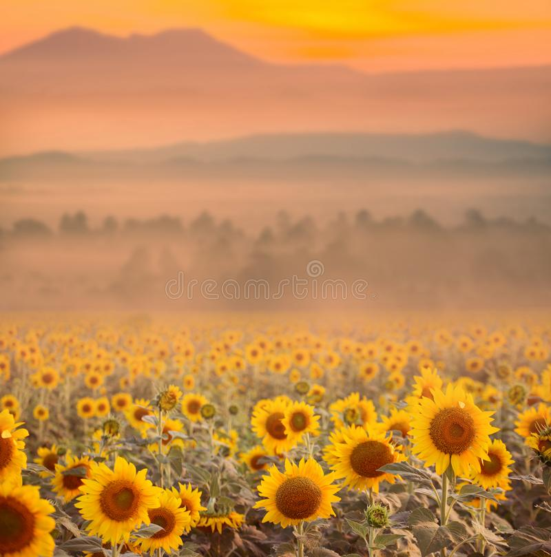 Beautiful landscape with sunset and flower field. royalty free stock photography