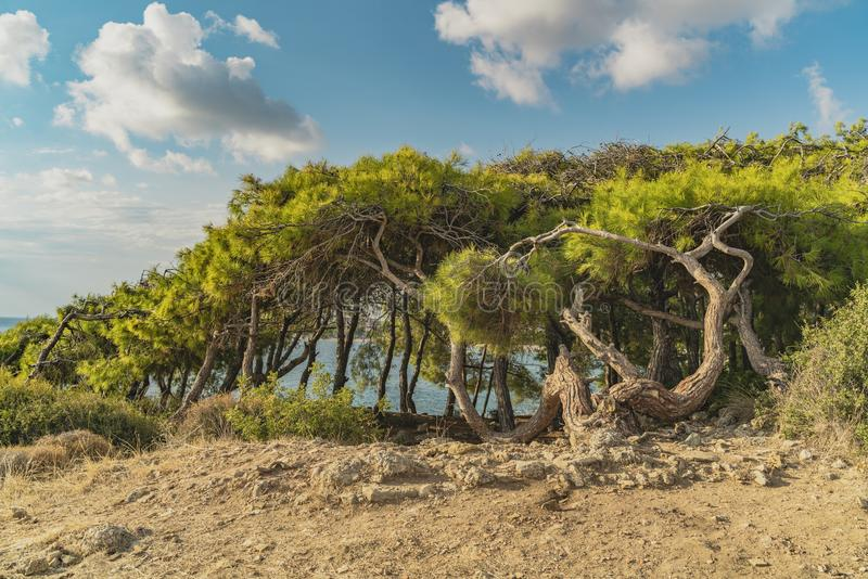 Beautiful landscape with turkish pine pinus brutia, sea in the background and nice blue sky with clouds. stock image