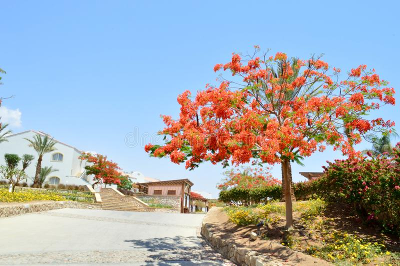 Landscape, vegetation, Delonix royal tree with red blooming flowers, palm tree with green leaves in a tropical resort against a bl. Beautiful landscape stock image