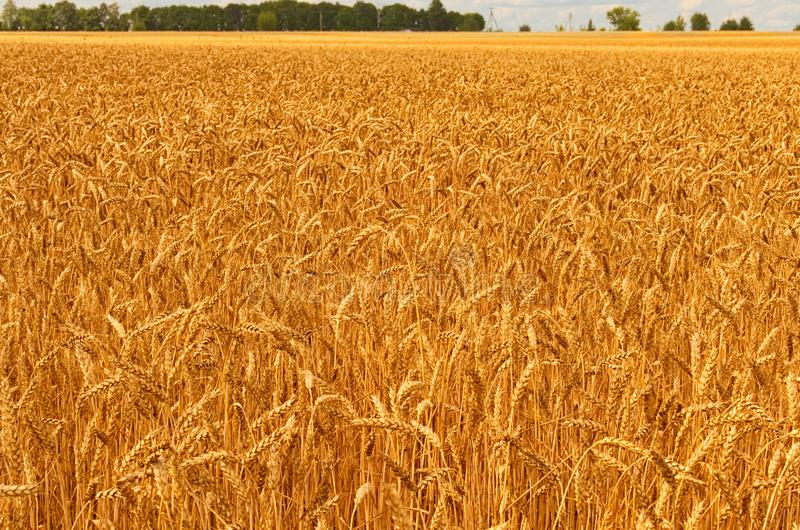 Beautiful landscape view of gold wheat field against blue sky. Agricultural concept stock image
