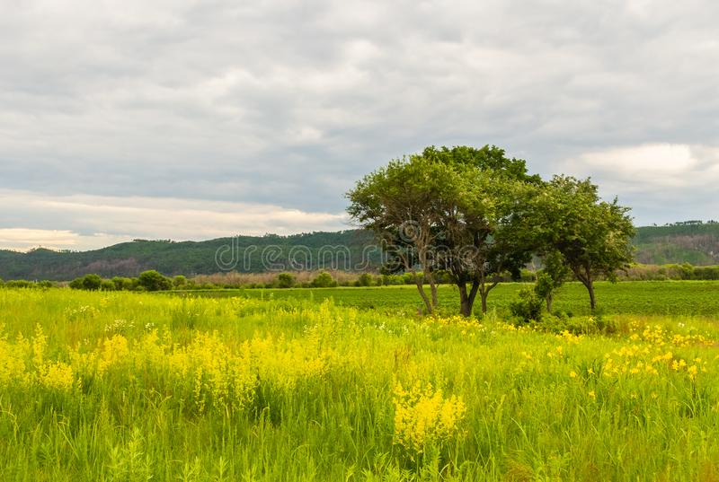 Yellow flowers and a tree on the background of distant hills royalty free stock photo