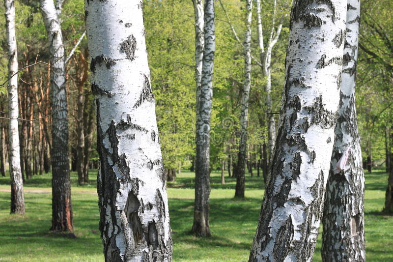 Beautiful landscape with young juicy green birches with green leaves and with black and white birch trunks in sunlight stock images