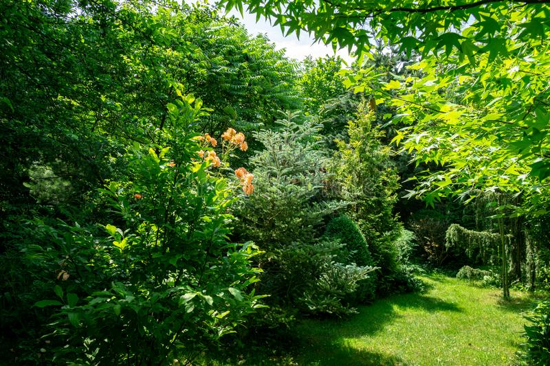 Beautiful landscaped garden with evergreens and blooming roses bushes. Many boxwood trees and Magnolia Susan stock photo