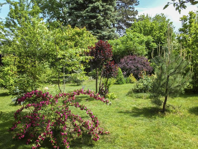 Beautiful landscaped garden with evergreens and blossom greenery. Pink flowers of Weigela Bristol Ruby in foreground. Purple leave. S of Cotinus coggygria and stock photography