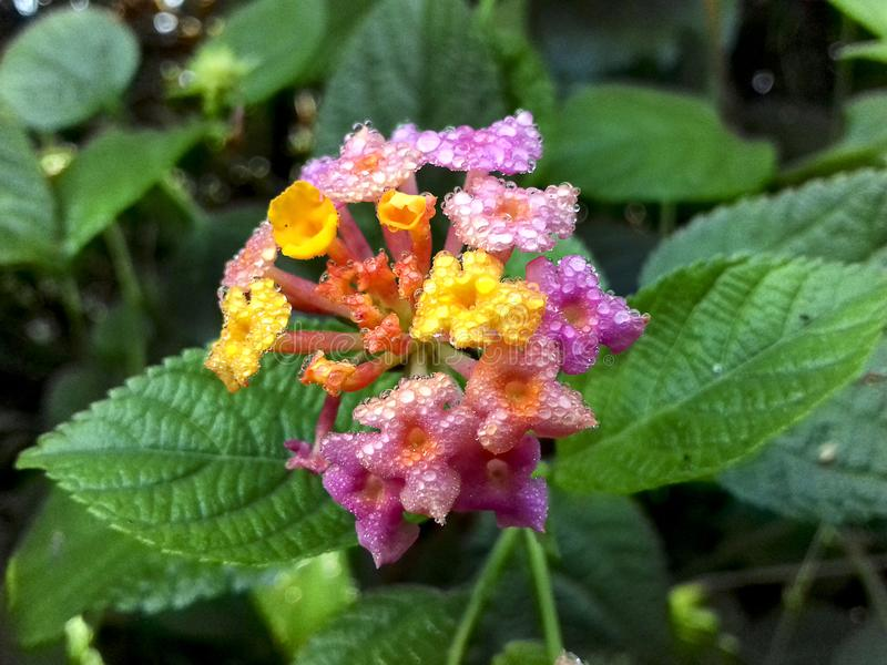 Beautiful lantana flower blossom in the wild royalty free stock photo