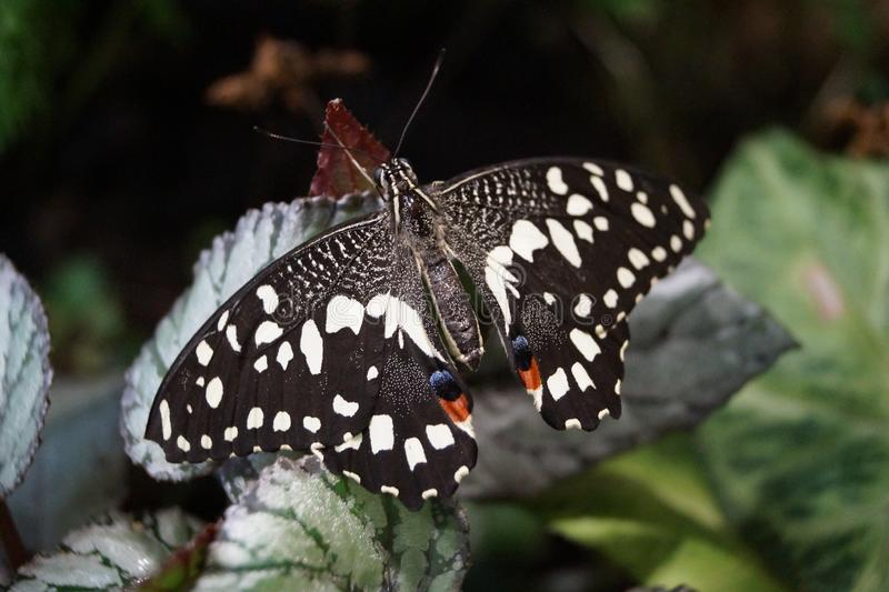 Large black white butterfly sitting on a green leaf. Beautiful large black white butterfly sitting on a green leaf royalty free stock photography